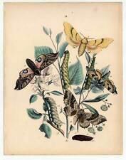 Schmetterlinge-Falter-Insekten-Blumen-Pflanzen - Altkolorierte Lithographie 1850