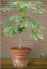 Papaya fruit tree! Edible,grow your own! Indoor plant/bonsai fast growing seeds