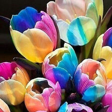 5 X Fashion world rare rainbow tulip bulbs seeds The most beautiful flower seeds