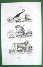 MONKEY Lion Tailed & Bandar Puffin Bird - 1836 Natural History Print