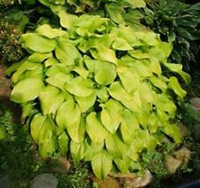 HOSTA  FRIED BANANAS PLANT 2 YEAR OLD  BUY