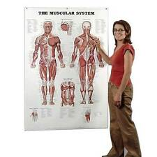 """Anatomical Chart Company The Muscular System Giant Chart 42"""" x 62"""""""