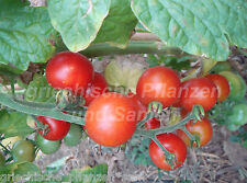 SWEETY tomates grappes 10 Graines toutes sortes très rare samenfest