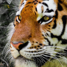 TIGER HEAD WILDLIFE POSTER STYLE B 36x36 HI RES