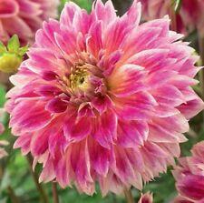 Dahlia Bulb/Tuber Decorative 'Temple of Beauty' Quality WPC.Prins Summer Bulbs