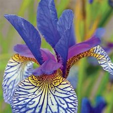Iris Siberica, Shaker's Prayer, Purple & Yellow, Red-Violet,Perennial, Bare Root