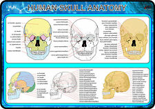 Human Skull Anatomy (Anatomy Medical A4 Poster) LOT OF 10
