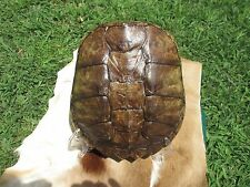 COMMON TURTLE SNAPPING SHELL TAXIDERMY SKELETON HUNTING BONES SKULL  720