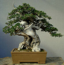 OLEA EUROPAEA, OLIVO, OLIVE TREE, 15 SEMI, SEMI BONSAI, SEEDS
