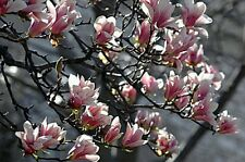 Magnolia tree!! Fresh seeds! Hardy Blossom trees! Beautiful garden shrub/tree