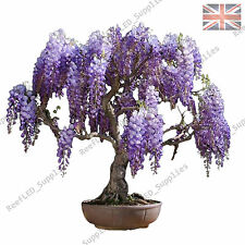 Rare Purple Wisteria floribunda Bonsai Tree Flowering Plant - 10 Viable Seeds