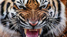 "Poster 19"" x 13"" Wild Tiger"