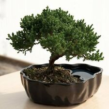 3 Year Old Real Live Juniper Bonsai Tree w Easy Train branches in Clay Pond Pot