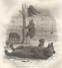 A5129 Orsi nella fossa - Xilografia - Stampa Antica del 1843 - Engraving
