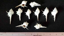 "10 Genuine Sea Shell Thorny Spiney Murex  Ocean Aquarium 2-3"" Spiny Aduncospinos"