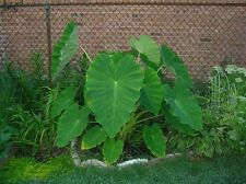 Elephant Ear Plant - Alocasia - Over Winter Indoors for Larger - 2 BULBS