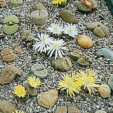 * LITHOPS LIVING STONES *  UNUSUAL!!   SEEDS