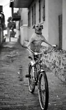 8x10 Print Unusual Photograph Dog Riding Bike #89730