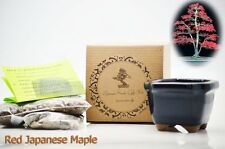 Red Japanese Maple Bonsai Seed Kit Gift Complete Kit to Grow GIFT Holiday Decor
