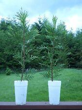 """EVERGREEN (2) INCENSE CEDAR TREES Liners Ornamental Seedlings  16""""+"""