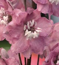 Flower - Delphinium Magic Fountains Cherry Blossom White Bee - 25 Seeds
