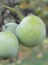 Sweet crabapple fruit tree excellent edible apple a real tough & easy LIVE PLANT