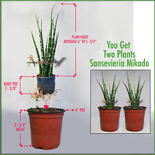 Two Sansevieria Mikado, Ferwood Snake Plants (Imported From Thailand) Easy Grow