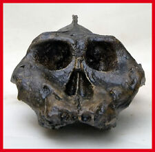 MOULAGE FOSSILE crane Australopithecus aethiopicus hominid skull fossil cast