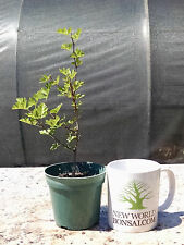 Bonsai, Parsley Hawthorn, Crataegus marshallii, Live tree, Starter tree
