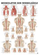 Muscles La Colonne vertébrale poster 24cm x 34cm de Rüdiger Anatomie