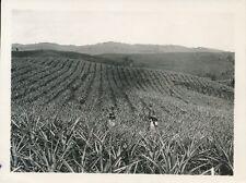 MARTINIQUE c. 1930 - Plantation d'Ananas La Desnel Antilles - P 1190