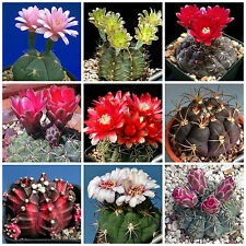 20 graines de Gymnocalycium mèlanges,plantes grasses, cactus seeds mix , F