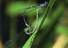 Ansichtskarte: Libellen bei der Paarung - mating dragon flies