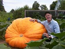 Pumpkin Dill's Atlantic Giant Guiness World Record Size 5 HUGE SEEDS