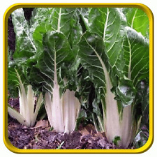 Heirloom Lucullus Swiss Chard 150 Seeds Non-GMO USA + FREE Gift & COMB S/H