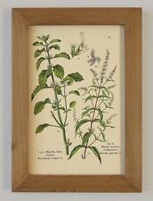 Heilpflanzen Andorn & Pfefferminze Mäusedorn Gewürze Faksimile im Rahmen 14
