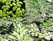 Lemna minor immergrüne winterharte Wasserpflanzen Pflanzen gegen Algen Teichdeko