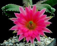 10 Echinocereus scheerii SEEDS CACTUC HUGE FLOWERS rare no stapelia aztekium