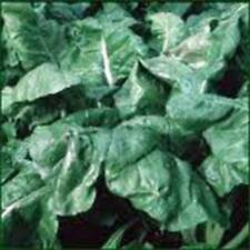 SPINACH SEED, AMERICA, HEIRLOOM,ORGANIC, NON GMO, 500 SEEDS, SPINACH SEEDS