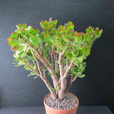 Crassula ovata, Pfennigbaum, 42,0 cm große Altpflanze, Bonsai (2847)