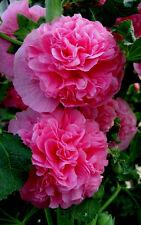 90 Graines de Rose trémière à fleurs doubles ROSE/ ALCEA Rosea