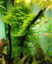 Pianta / muschio per acquario; Christmas moss (vesicularia montagnei) cm 5x5!!