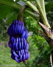 Rare Blue Banana- Musa velutina, Fruit and Flowering Ornamental Plant 10 Seeds