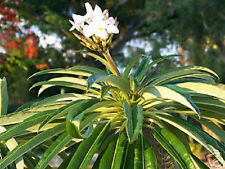 Pachypodium Lamerei rare succulents madagascar palm exotic semi seed 100 SEEDS