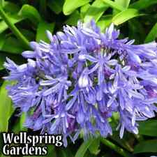 Agapanthus Lily of the Nile - Agapanthus africanus Live Plant purple