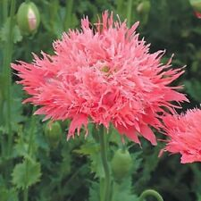 VENUS PEONY POPPY 200 SEEDS BEAUTIFUL SALMON PINK BLOOMS TO ENJOY THROUGH SUMMER