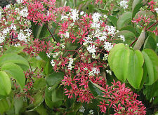 Heptacodium miconioides SEVEN SONS FLOWER Shrub Seeds!