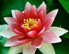 10 Seeds Double Colors Lotus Seeds China Rare Fragrance Water Plants