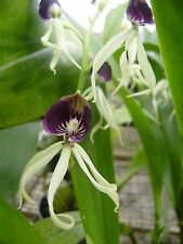 Orchid Plants Prosthechea cochleata orchid species