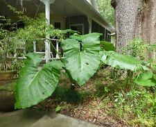 Giant Elephant Ear (Colocasia gigantean) -  4 Bare Root Plants